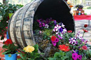 172346_beczka-kompozycja-kwiatowa-gerbery-petunie